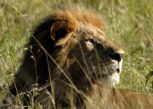 0019a-Lion-480x340