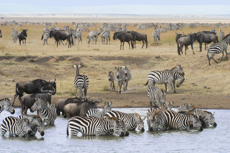 0073a-Zebras-and-Wildebeest