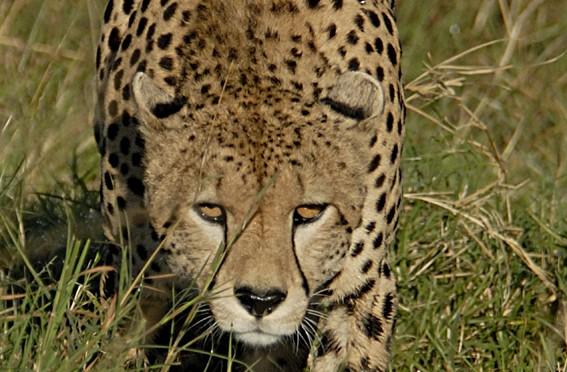 0120b-Cheetah-567x372
