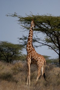 0124-Reticulated-Giraffe