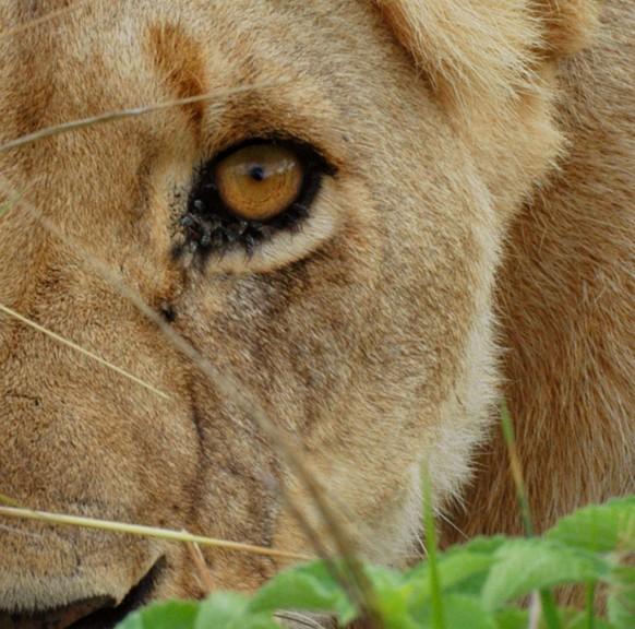 0177d-Lioness-582x5761