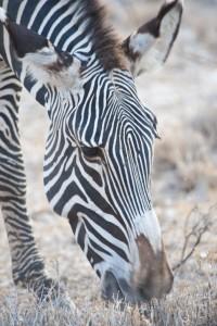 110725_0189 S Grevy Zebra_resize