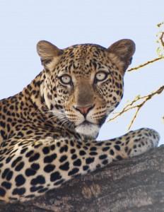 110728_1129a S Leopard in tree