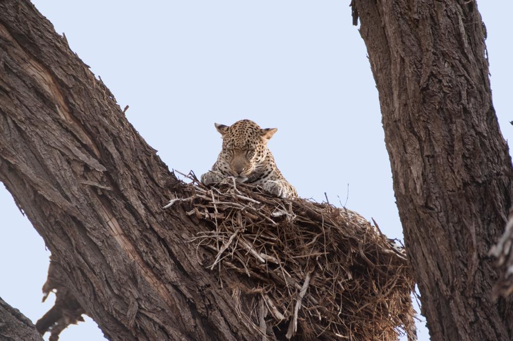 110728_1419-S-Leopard-asleep-in-nest_resize